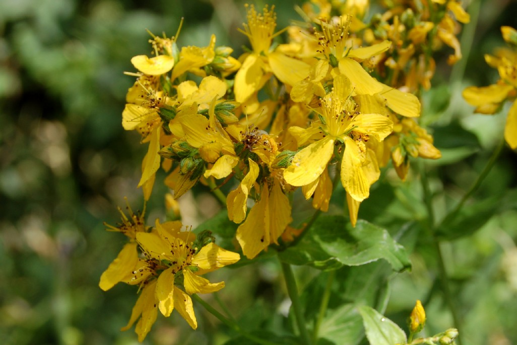 Hypericum perfoliatum