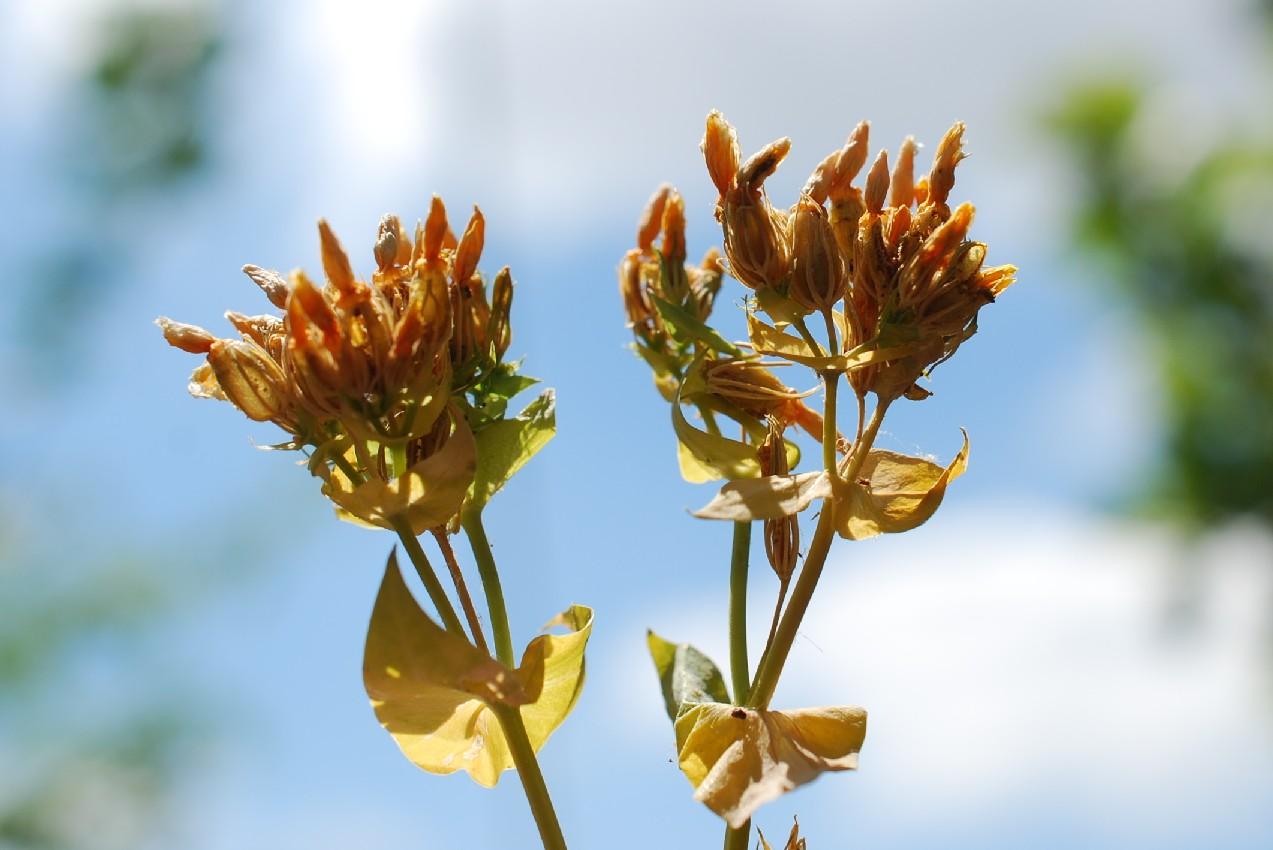 Hypericum perfoliatum 20