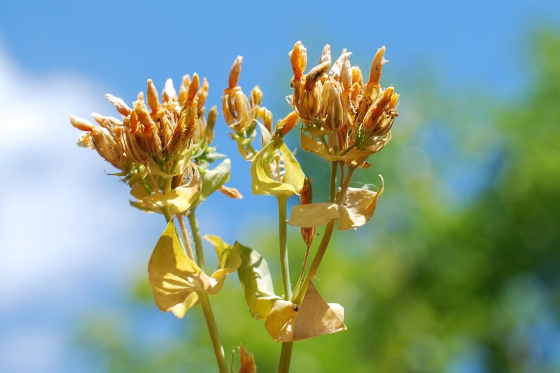 Hypericum perfoliatum 21