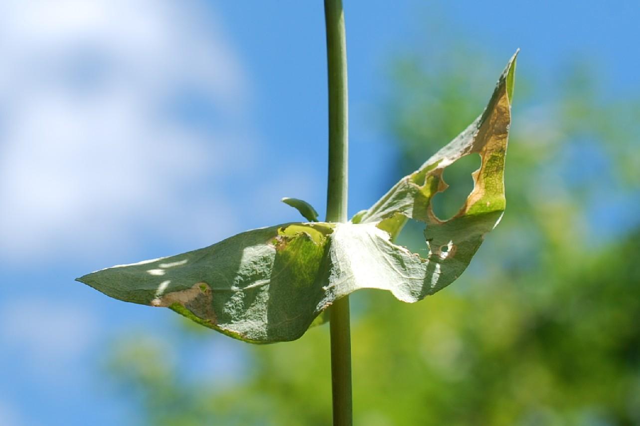 Hypericum perfoliatum 22