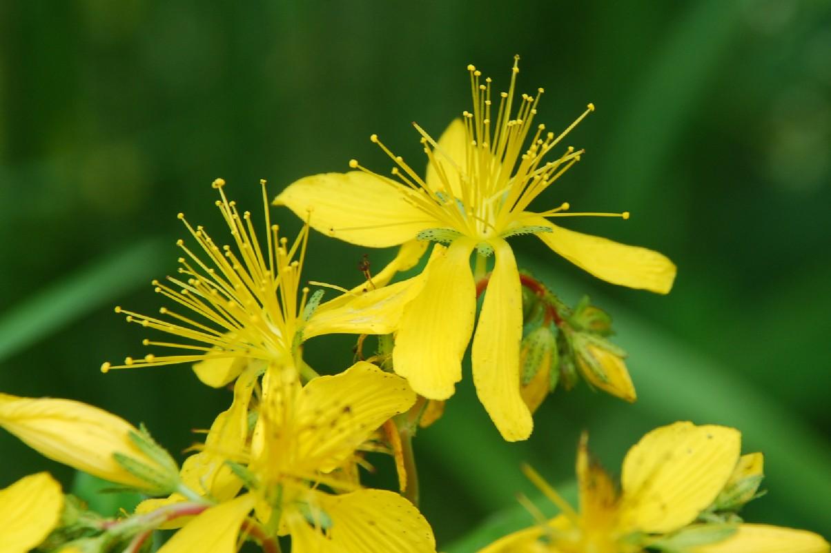 Hypericum perfoliatum 5