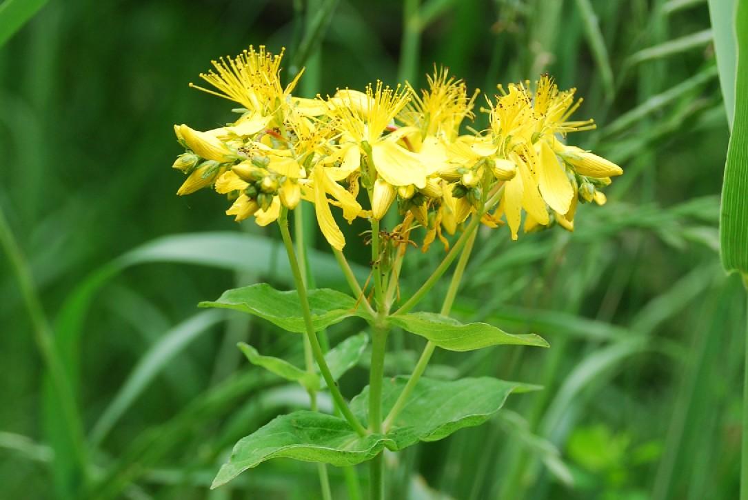Hypericum perfoliatum 6
