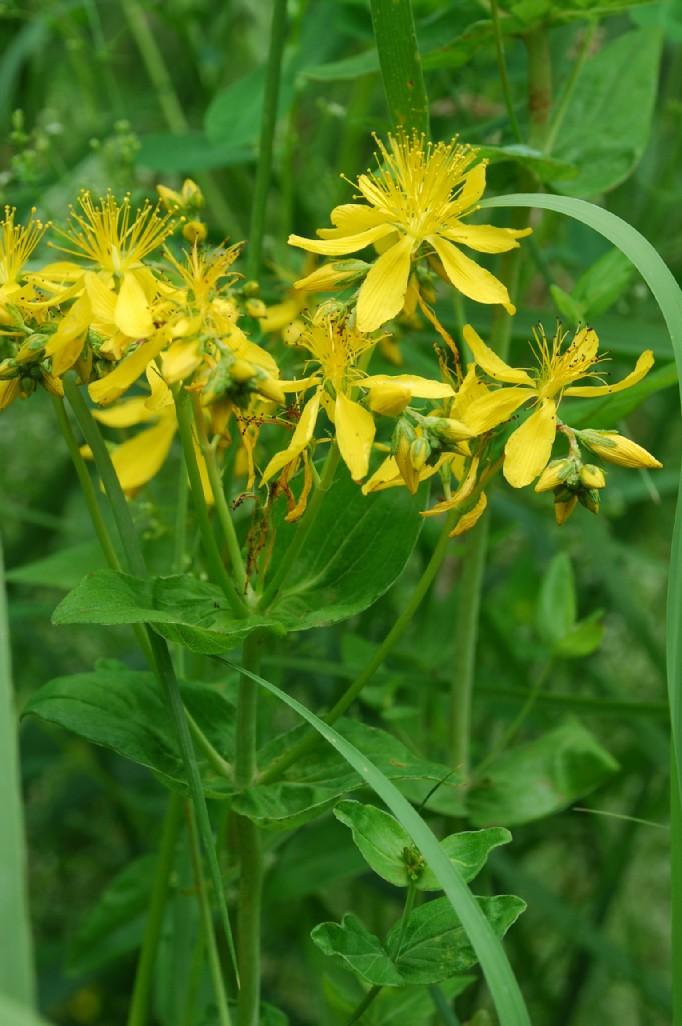 Hypericum perfoliatum 7