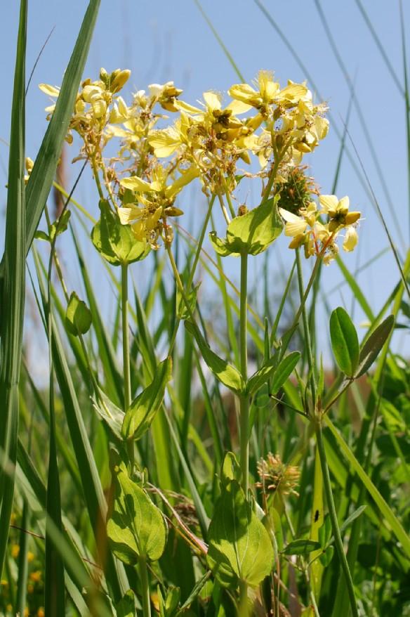 Hypericum perfoliatum 9