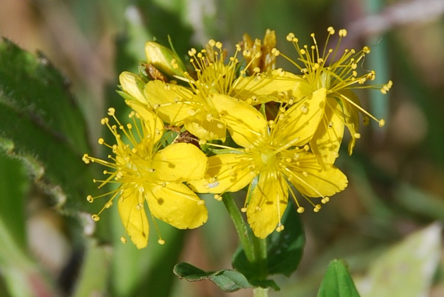 Hypericum tetrapterum 10