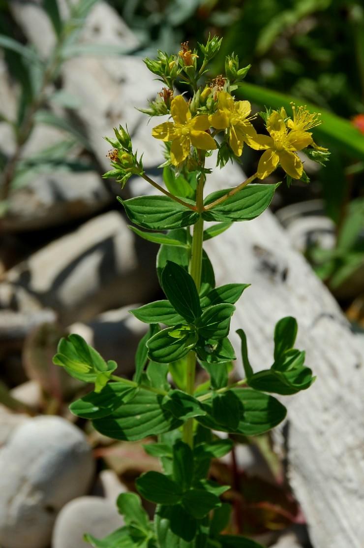 Hypericum tetrapterum 13