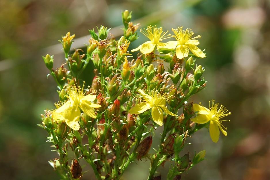 Hypericum tetrapterum 6