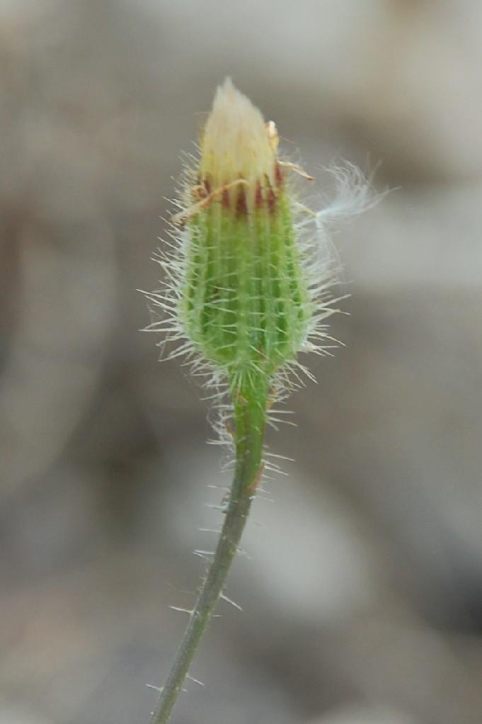 Hypochaeris achyrophorus 18