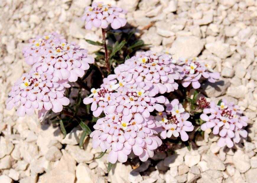 Iberis carnosa subsp. carnosa