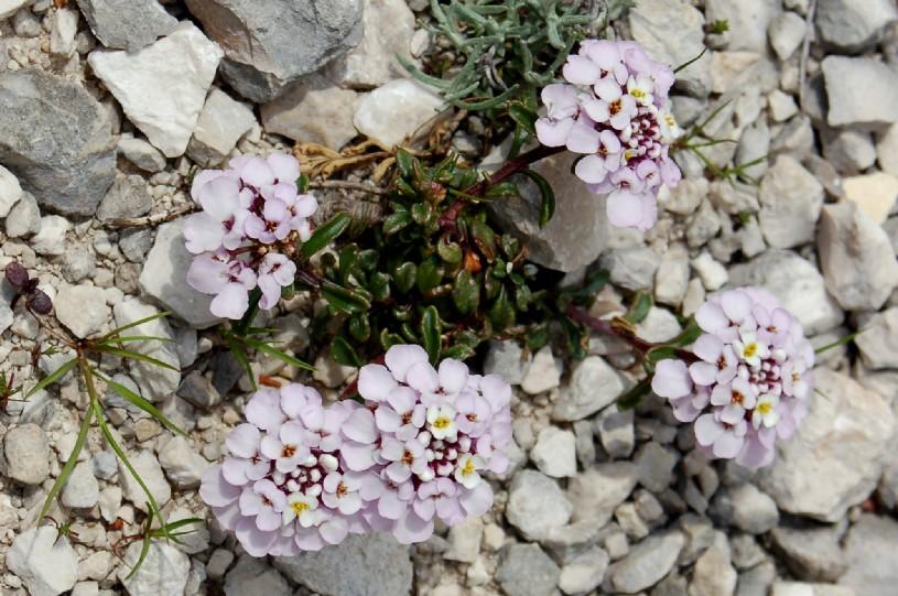 Iberis carnosa subsp. carnosa 2