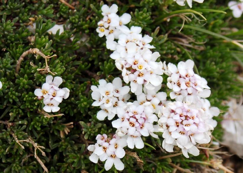 Iberis saxatilis subsp. saxatilis