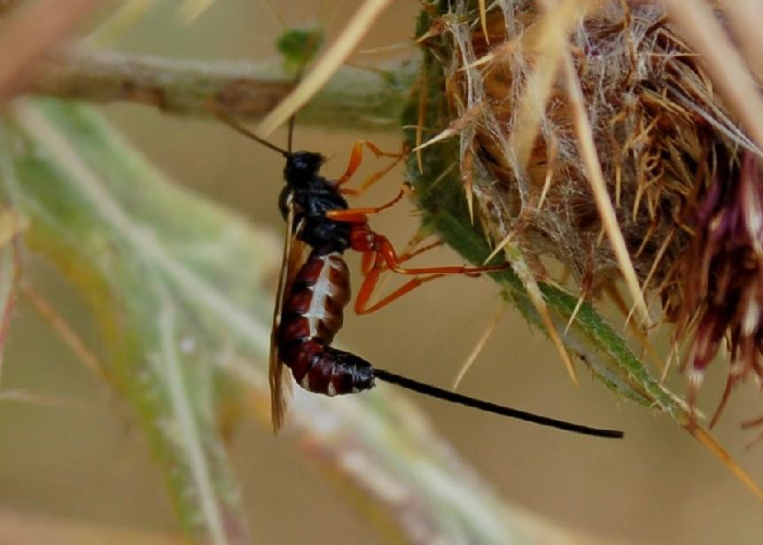 Ichneumonidae 2