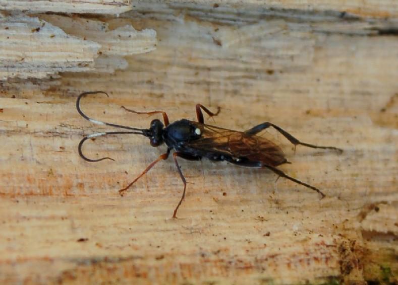 Ichneumonidae 4