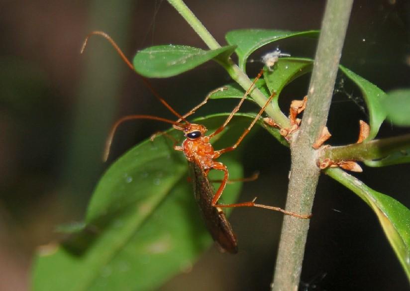 Ichneumonidae 5