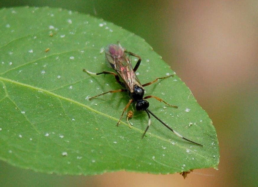 Ichneumonidae 9