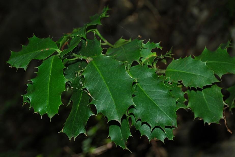 Ilex aquifolium 10