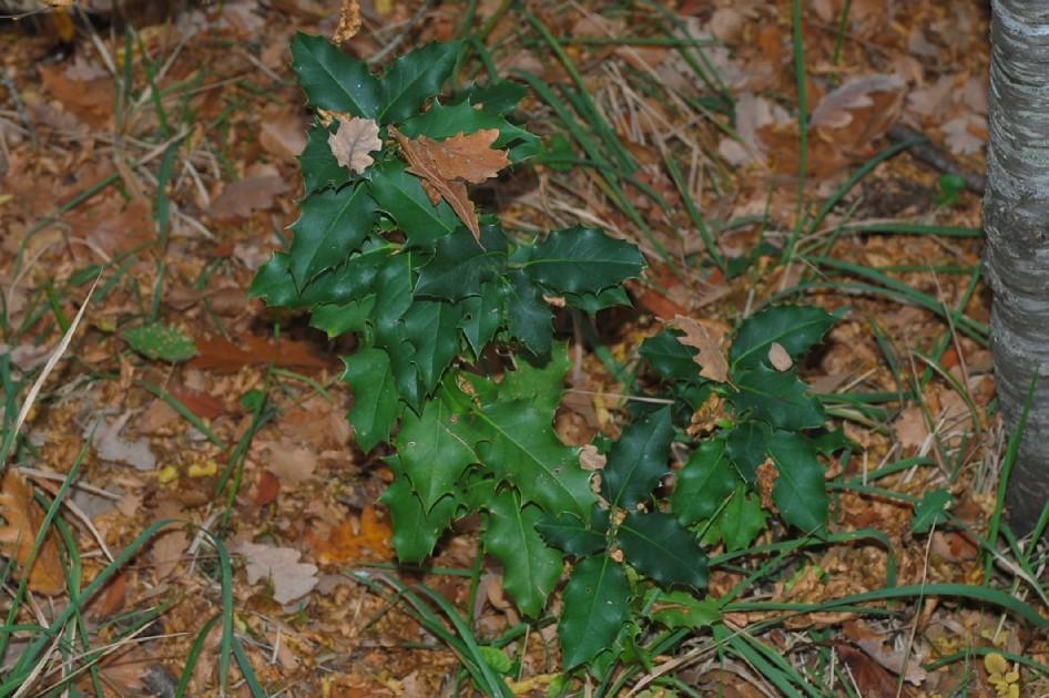 Ilex aquifolium 16