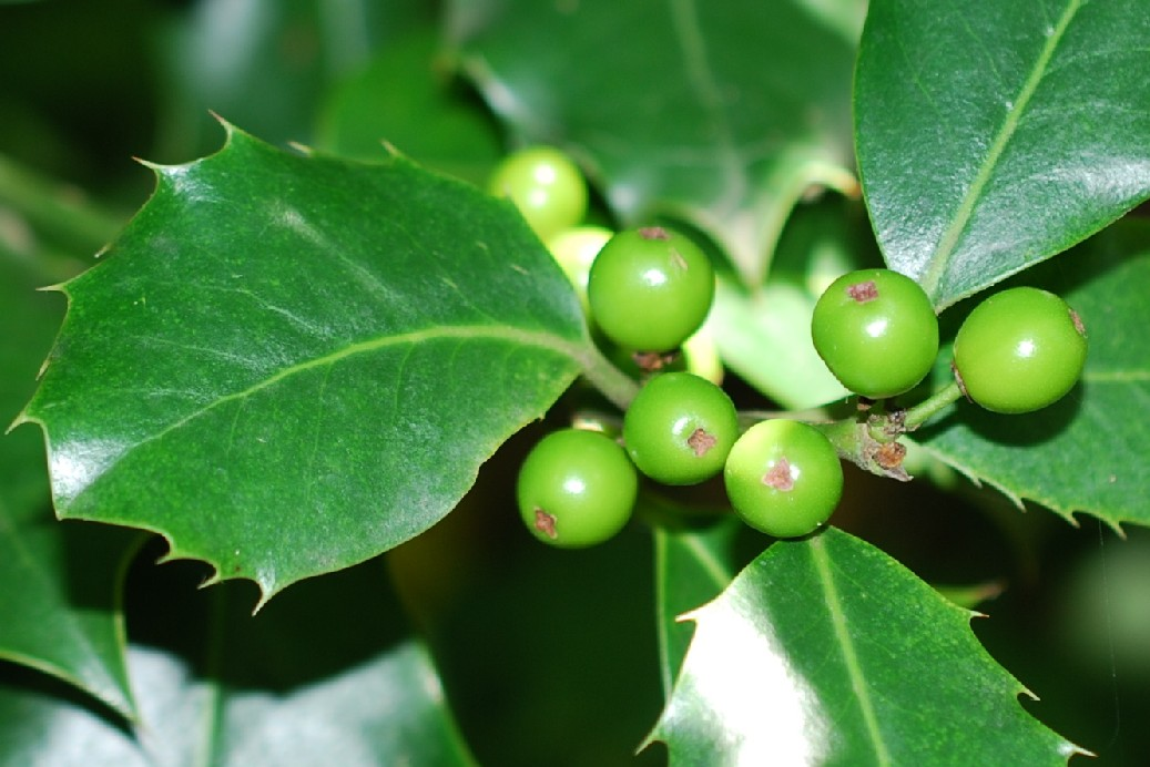 Ilex aquifolium 19