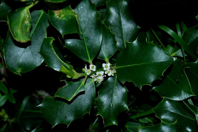 Ilex aquifolium 2