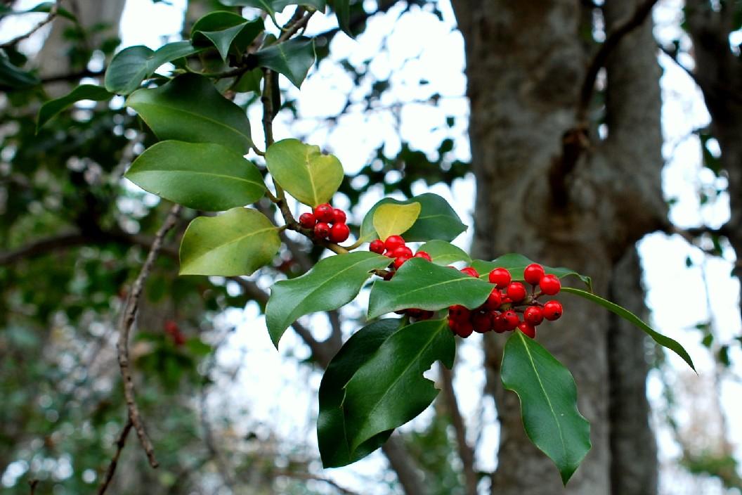 Ilex aquifolium 25