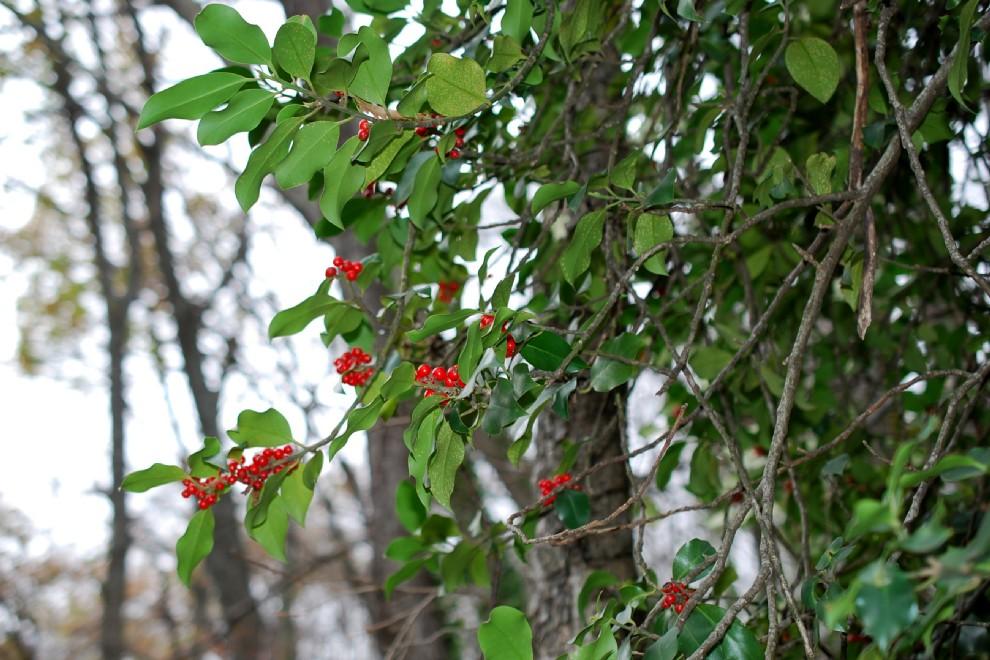 Ilex aquifolium 26