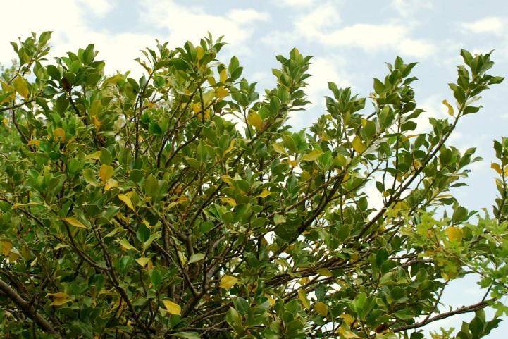 Ilex aquifolium 8