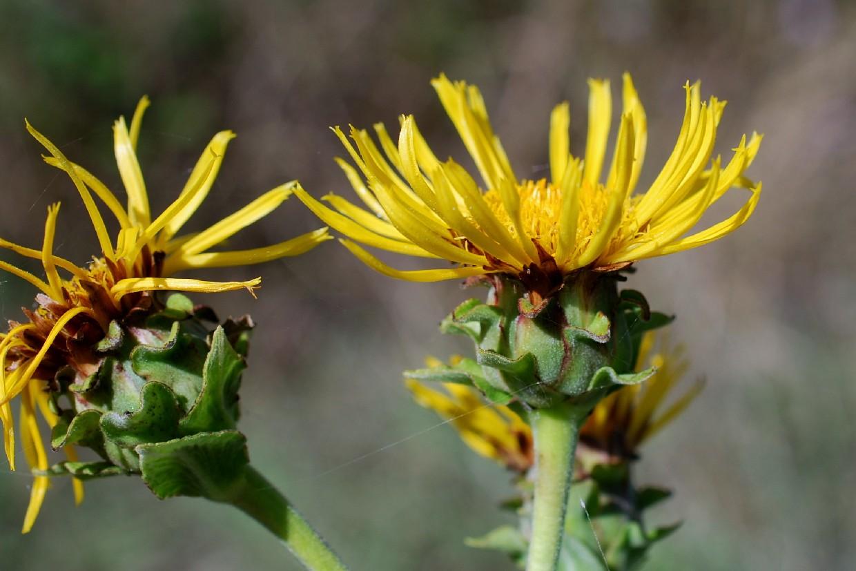 Inula helenium subsp. helenium