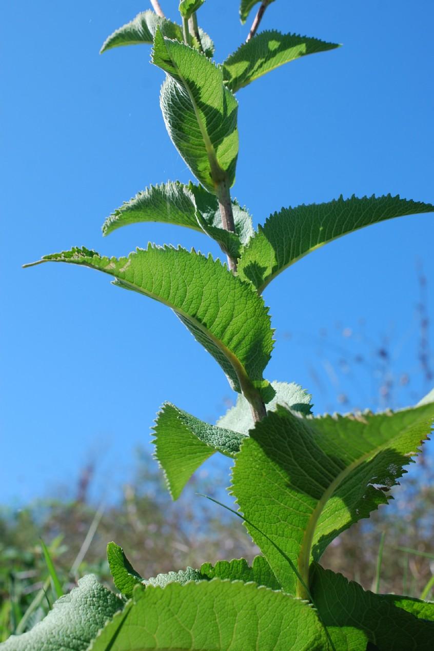 Inula helenium subsp. helenium 11