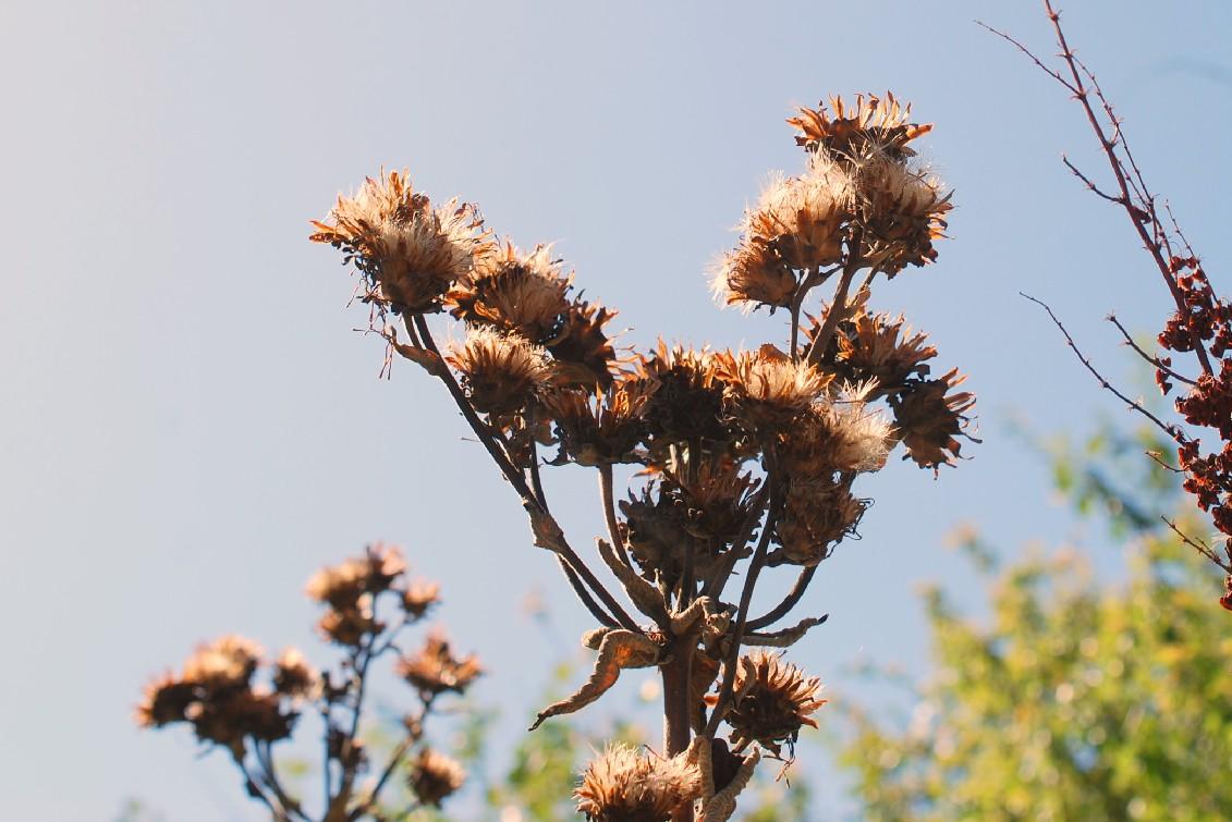 Inula helenium subsp. helenium 21