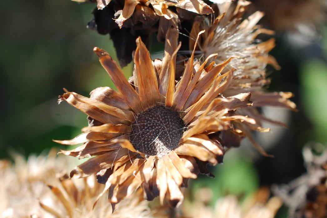 Inula helenium subsp. helenium 22