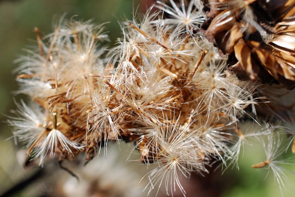 Inula helenium subsp. helenium 23
