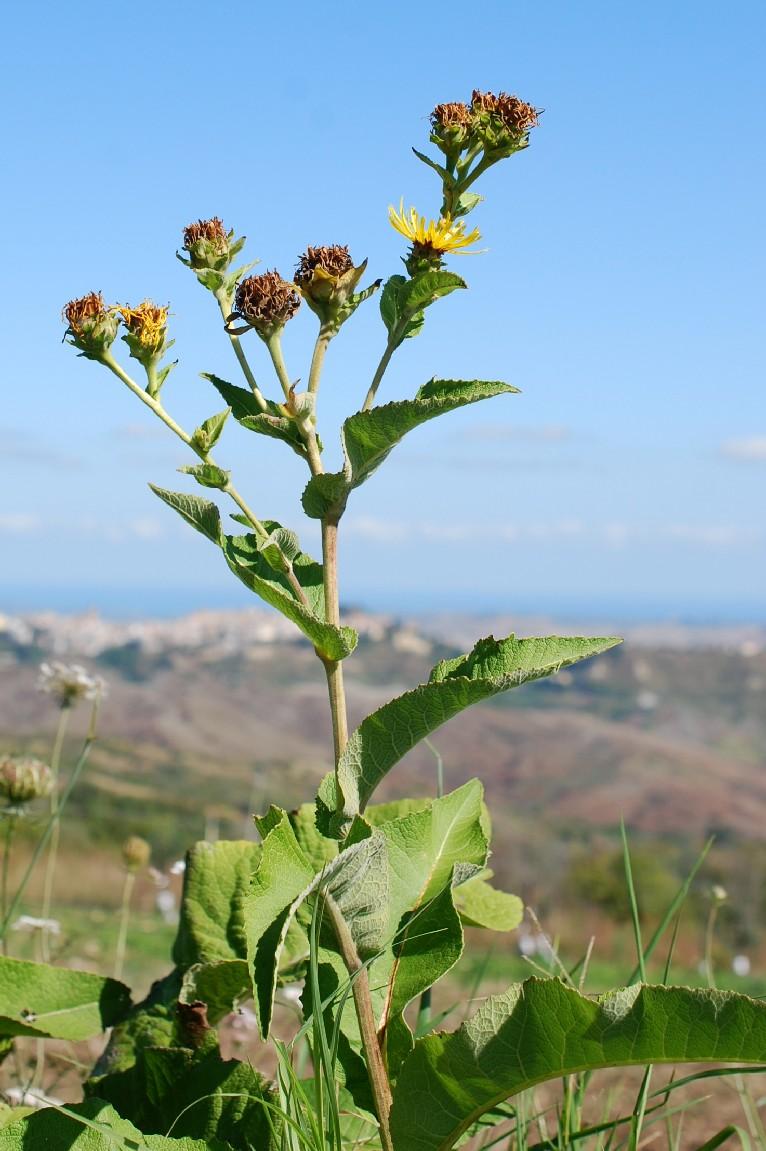 Inula helenium subsp. helenium 6