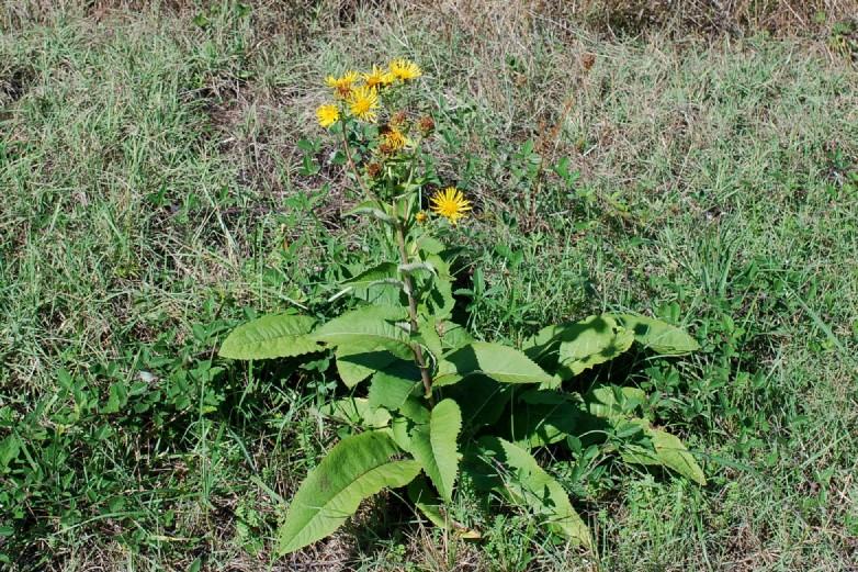 Inula helenium subsp. helenium 7