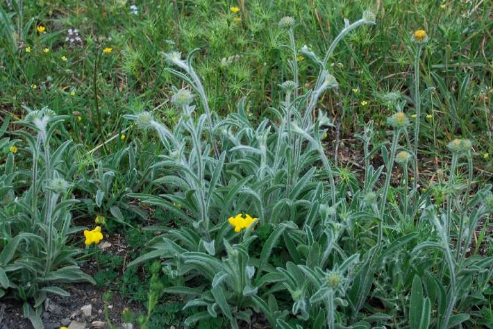 Inula montana 11