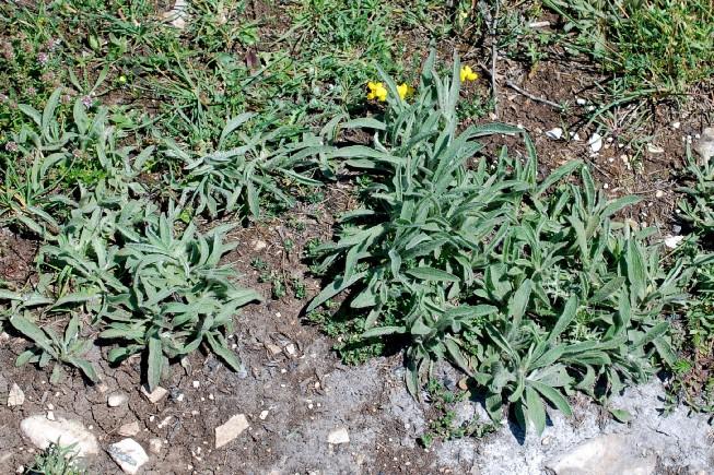 Inula montana 12