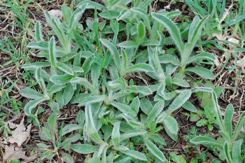 Inula montana 13