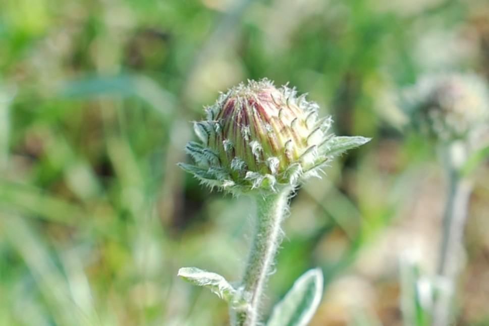 Inula montana 16