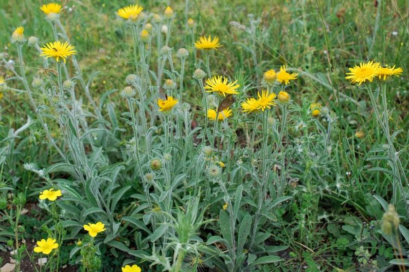 Inula montana 19