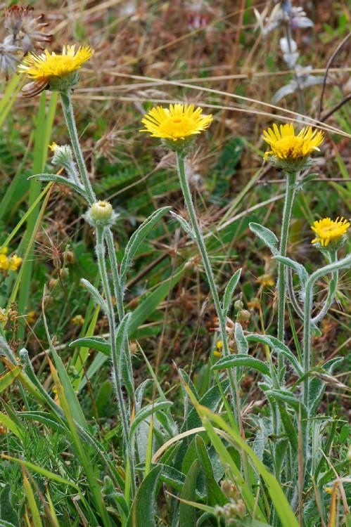 Inula montana 2