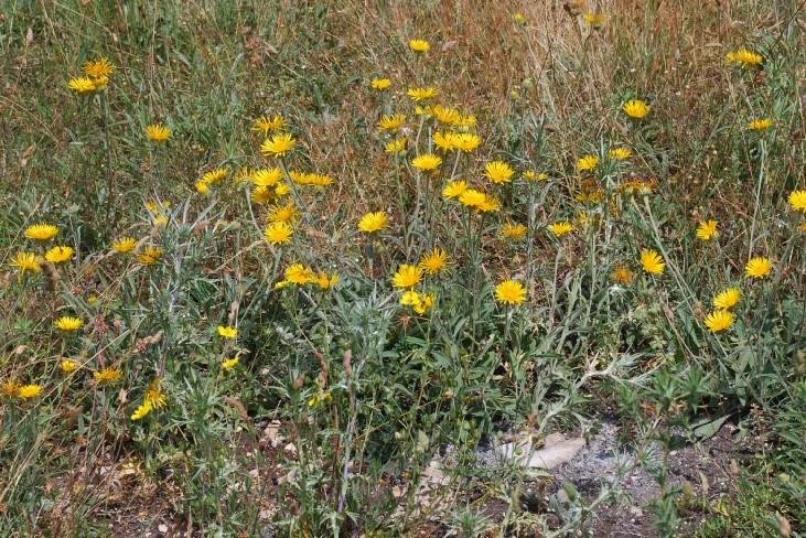 Inula montana 22