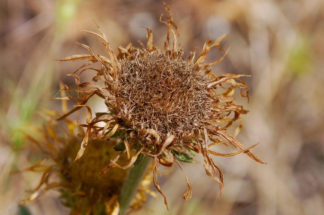 Inula montana 23