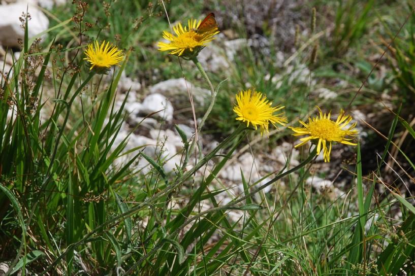 Inula montana 26