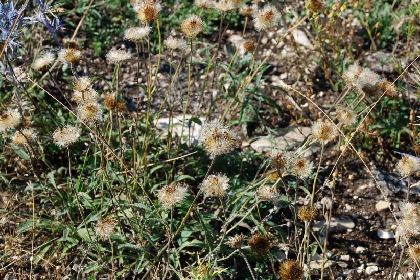 Inula montana 27