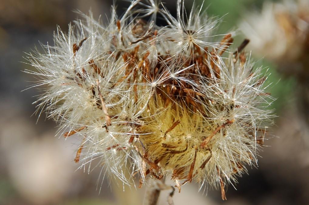 Inula montana 28
