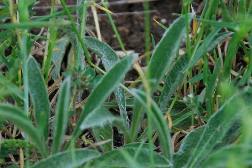 Inula montana 8