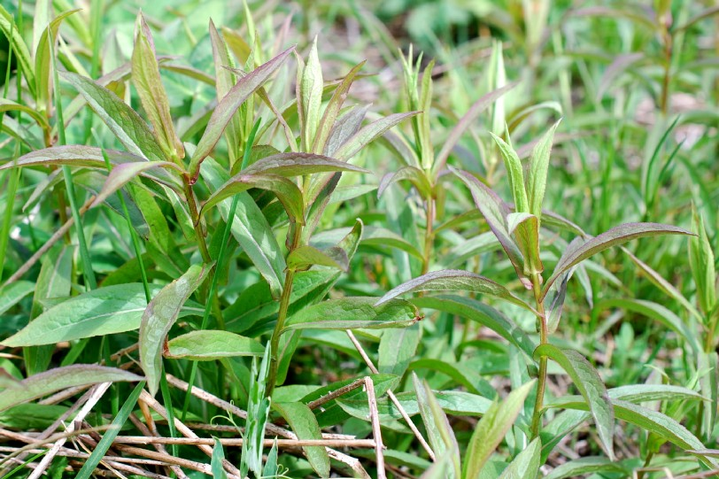 Inula salicina subsp. salicina 25