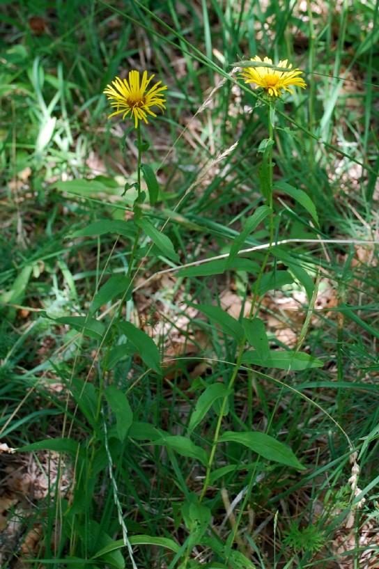 Inula salicina subsp. salicina 4