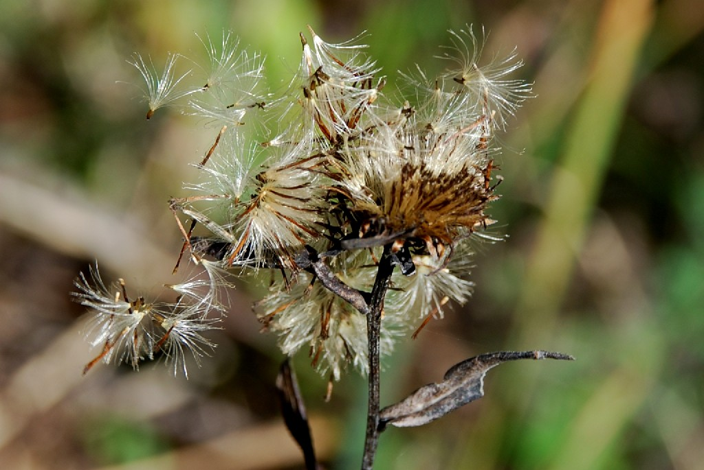Inula salicina subsp. salicina 7
