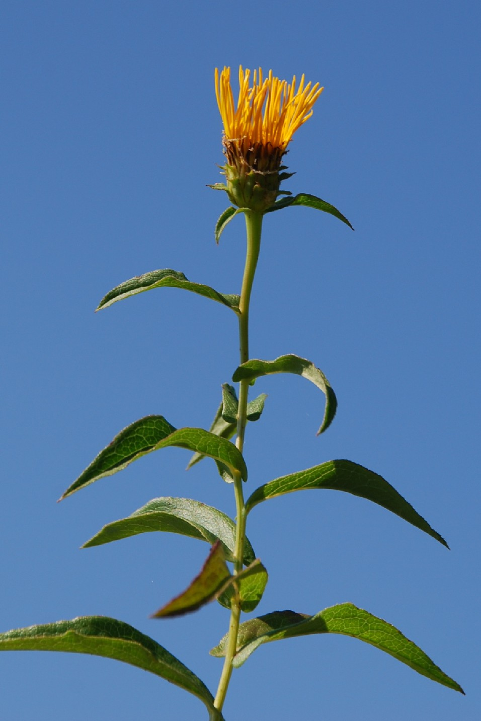 Inula salicina subsp. salicina 8
