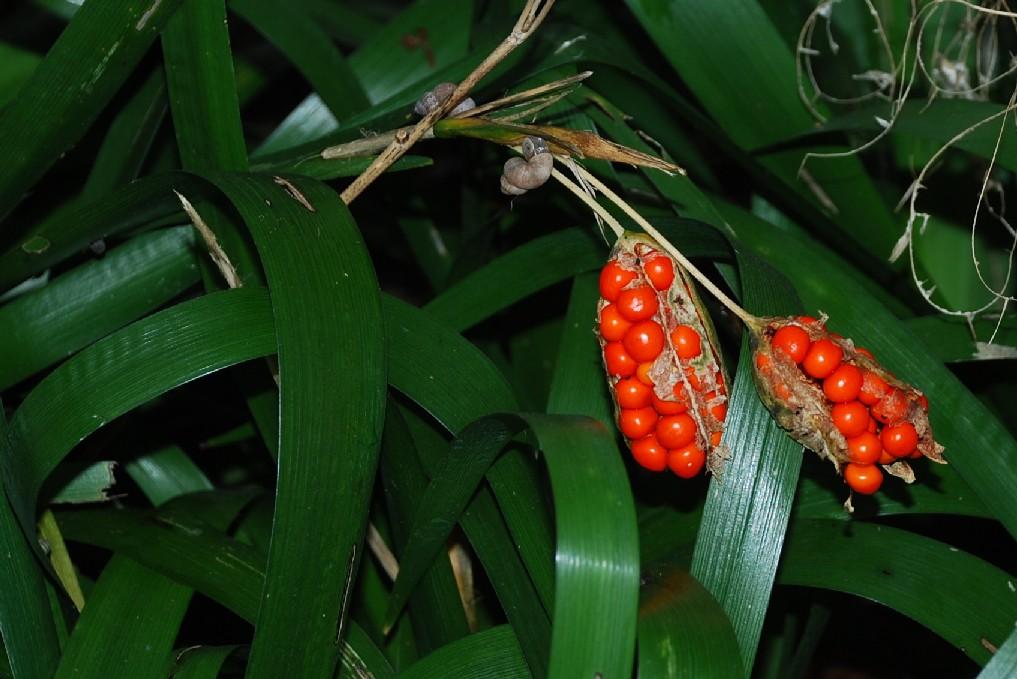 Iris foetidissima 10